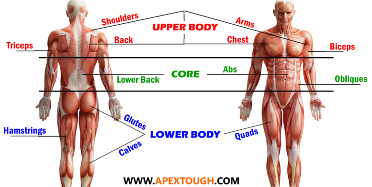 muscle groups apex haus